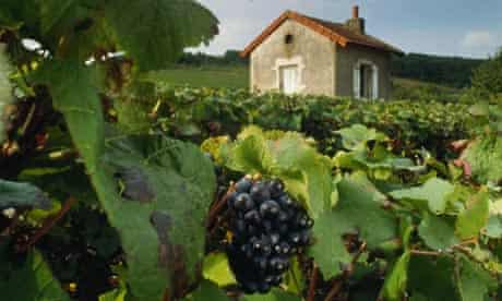 Pinot noir grapes in Burgundy. The variety is used by the prestigious Domaine de la Romanée