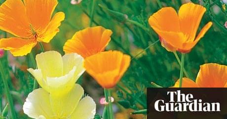 Alys fowler california poppies gardening life and style the alys fowler california poppies gardening life and style the guardian mightylinksfo