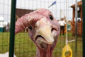 24 hours in pictures: Liavonavichi, Belarus: A turkey at an agricultural exhibition