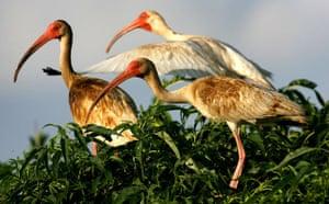 BP oil spill: Deepwater Horizon oil spill:  Three oil-coated white ibis