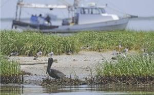 BP oil spill: Deepwater Horizon oil spill : a Brown Pelican coated in oil