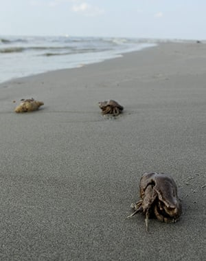BP oil spill: Deepwater Horizon oil spill:  Hermit crabs stained with oil