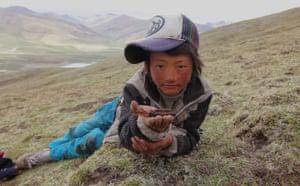 Caterpillar Fungus: Harvest around quake devasted Yushu, on Tibetan plateau, Qinghai, China