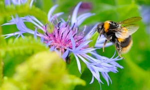 A bumble bee prepares to land