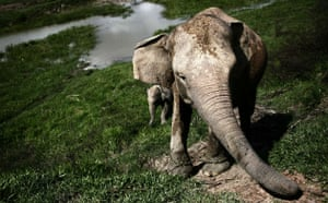 Week in wildlife: Sumatran Elephant's Threatened With Extinction In Indonesia