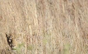 Week in wildlife:  leopard at Pilanesberg National Park near Sun City