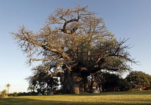 Week in wildlife: the world's largest baobab tree at Sunland Nurseries, Limpopo, South Africa