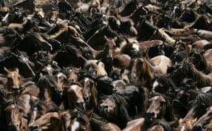 """Week in wildlife: Horses run during the """"Rapa Das Bestas"""" event in Mougas, northwestern Spain"""