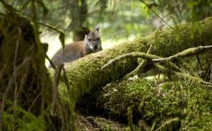 Week in wildlife: The wallabies of Loch Lomond