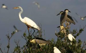 Week in wildlife: An oiled crane sits on a tree limb on a small island near Grand Isle