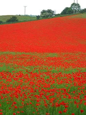 Week in wildlife: Poppies in field near Bewdley