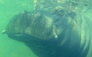 Week in wildlife: A hippopotamus makes its way through the