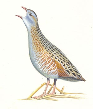 Endangered Species: Corncrake amended