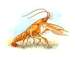 Endangered Species: Crayfish