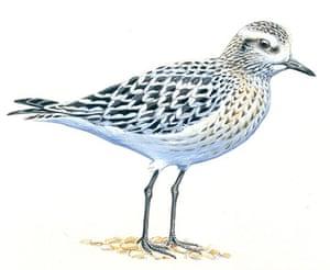 Endangered Species: Grey plover