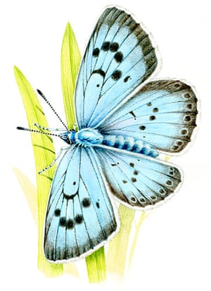 Endangered Species: Large Blue Butterfly