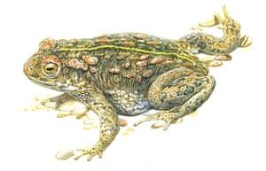 Endangered Species: Natterjack toad