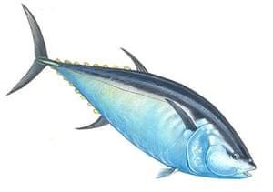Endangered Species: Northern bluefin tuna