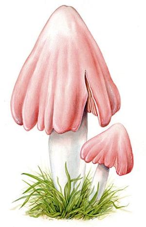 Endangered Species: Pink Waxcap