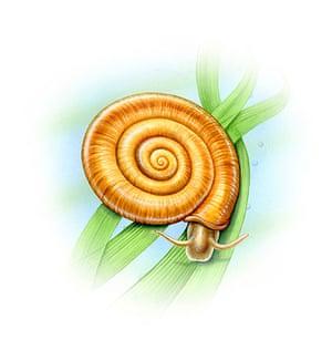 Endangered Species: Ramshorn snail