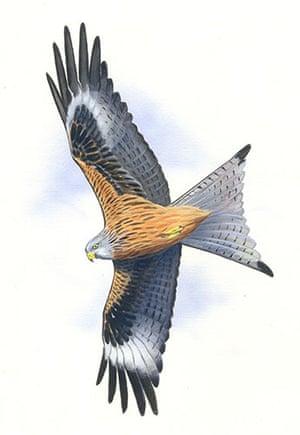 Endangered Species: Red kite