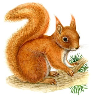 Endangered Species: Red Squirrel