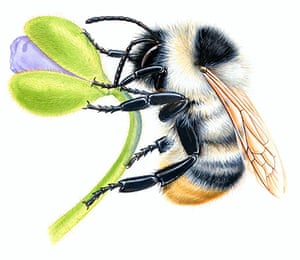 Endangered Species: Shrill Carder Bumblebee