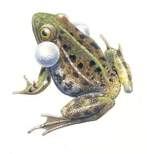 Endangered Species: Pool frog