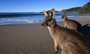 Eastern Grey Kangaroos on the Beach