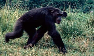 A group of chimpanzees