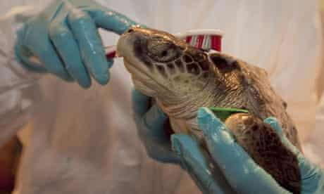 A Kemp's Ridley turtle rescued from the BP oil spill is cleaned up at the Audubon Nature Institute