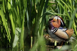 Week in wildlife: A manderin duck sits in the long grass at the London Wetland Centre