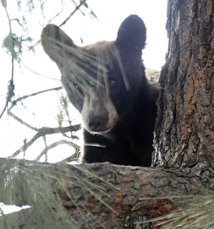 Week in wildlife: The bear watches firefighters try to get him out of a tree