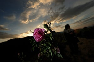 Week in wildlife: A woman gathers roses during sunrise near the village of Rosino, Bulgaria