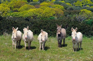 Week in wildlife: Wild donkeys on the island of Asinara, Italy