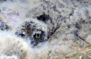 Week in wildlife: Short-eared owls nesting on the ground in the Scottish Borders
