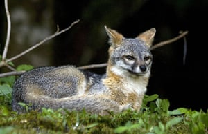 Week in wildlife: A fox (Pseudalopex fulvipes)