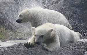 Week in wildlife: Polar bear cubs play at the St-Felicien Wildlife Zoo
