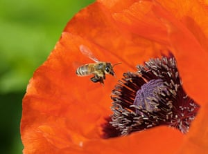 Week in wildlife: A honey bee approaches the blossom of a poppy flower