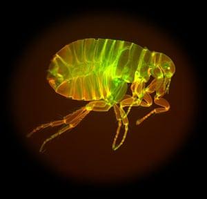 Mesolens:  Human flea