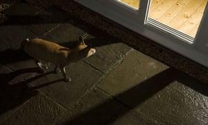 Urban fox vixen looking into house at night Bristol