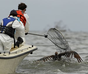 Deepwater Horizon: An oiled Brown pelican is rescued from Barataria Bay