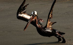Deepwater Horizon: A brown pelican coated in heavy oil tries to take flight
