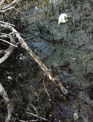 Deepwater Horizon: A young heron sits dying amidst oil splattering underneath mangrove