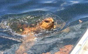 Deepwater Horizon: Oiled Turtled