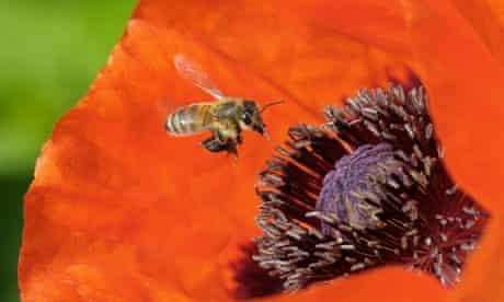 A honey bee approaches the blossom of a