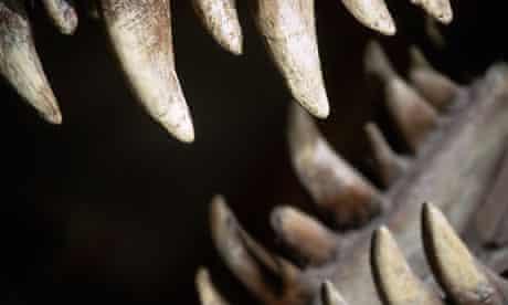 Teeth of a Tyrannosaurus Rex