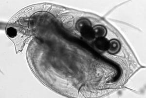 Mesolens: The living specimen of the water flea Daphnia