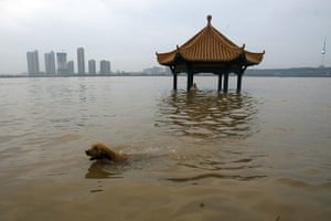 China floods: A dog swims at a park flooded by the Yangtze river