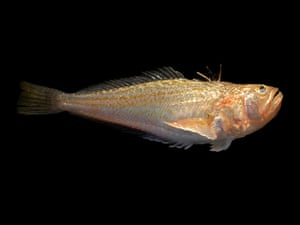 Week in Wildlife: A weever fish, the UK's most poisonous fish